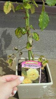 ガーデニング(バラ)初心者です。少し心配なので、アドバイスお願いします。 4月中旬~下旬にバラの苗をネットにて購入。その時、つぼみが あって、我が家に到着後開花。 ネットでバラの育て方を調べると、葉・...