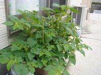 食用ほおずき栽培のアドバイスお願いします ほおずきトマトを栽培中なんですが大きくなりすぎなのではと思い質問しました 2株を苗からプランターで育てて1か月になります 実はざっと100個ほどついています わい性というやつで支柱はいらないそうでしたが不安だったので アサガオ用の支柱をしたのですがあまり意味なかったです 剪定をしたほうがいいのか、どこから切っていいものかわかりません まだ...