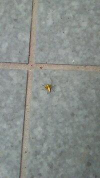金色の蜘蛛。これは何という名前の蜘蛛なのでしょうか? 先日家の玄関の近くでこんな蜘蛛をみかけました。 キラキラ光っていて、すごくきれいでした。 何という名前なのか調べてみたのですがなかなか見つからず・・・  蜘蛛に詳しい方、是非名前を教えてください。