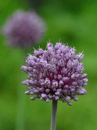 この花の名前教えて?ネギボウズ似いています。