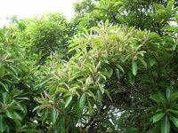 木の名前を教えて下さい。栗のような花が咲いています。栗ではありません。葉が厚ぼったく光沢があります。常緑樹と思います。