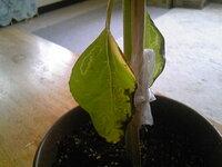 ひまわりの下の方にある葉が枯れていました。 何かの病気でしょうか?(普段は外で育てておりますが撮影のため室内に移動させてます