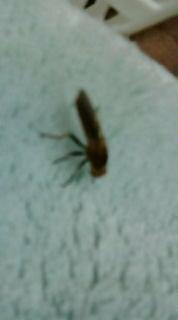 洗濯物に付いてきた虫です 名前わかりますか