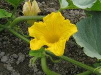 『カボチャに接木したキュウリ苗』・・・どちらも収穫できそうです!? ☆゜'・:*:.。:*:・'゜☆。.:*:・゜'・:*:.。☆.:*:゜'・:*:.。:*:・☆゜'・・:*:.。  十年ほど遠ざかっていた野菜作りを、震災直後の食糧不足を機に再開しました。  大きな鉢にそれぞれの苗を育てていますが、今はナス・キュウリ・トウガラシが毎日収穫できます。  キュウリは棚を作ったらツル...