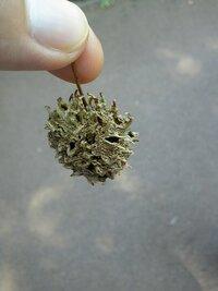 これは何の実ですか?  公園で見つけました。 球形でトゲトゲでスカスカです
