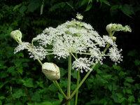 これはシシウドでしょうか? 前の質問でウドの花だと一度は納得したのですが、調べて行くうちにもしかしたら違うのかもしれないと思うようになりましたので、同じ植物の違う写真で再度質問させていただきます。よ...