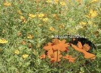 一ヶ月ほど前から近くの空き地で野草の満開です。 高さ、平均 4〜50cm、ところどころ1mほどの高い草も花をつけています。 ひとつの花は6〜7cmくらい、 花を手折ると可憐ですが、群生すると野生の力強さを感じます。 この草の名前をご存じの方、お教えください。
