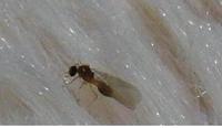 夕方から小さな虫が大量発生。 羽ありでしょうか? 現在木造アパートで一人暮らし中の者です。  昨夜は強い雨、今日は朝からもわっとするような暑い晴れの1日でした。  今日はこの時間まで1日中窓を開け放っ...