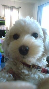 このわんこの犬種、おわかりになる方いらっしゃいましたら、 ご回答よろしくお願いいたします。