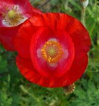 虞美人草というお花があります。 (「ひなげしの花」でもあるんでしょうか?) いろいろな蘊蓄(ウンチク)のお知りの方 熱く語ってくださいまし・・・。 もう二件は別質問です。 ※虞美人草が「ケシの花」というのは事実なのでしょうか? ※虞美人草の「美人」の意味は「美しい人」ではなくて  後宮の女性の地位のことなのでしょうか?  ご参考写真も掲載します。 他にもいろいろと種類もあっ...