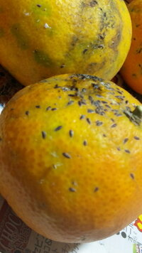 蜜柑のブツブツ  こんにちは 我が家の蜜柑の皮なのですが一部このようになっています(完全無農薬で放置栽培です)  これはいったい何でしょうか?  農業を営む祖父母曰く  アブラムシの食べた後じゃ?  なんて言っ...