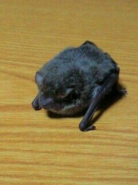 モンハンのナルガクルガにそっくりのコウモリがいるそうなんですが、 そのコウモリの種類を教えて下さい。