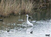 この白い鳥の名前を教えて下さい。もしわかれば、その周りにいる鳥の名前も知りたいです。 鴨かなあ?