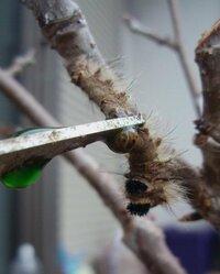 サクランボの木の毛虫は何という名前ですか? サクランボの枝に表、裏に2匹の害虫が張り付いていました。枝の色と同じでよく見ないと分かりません。はがそうとすると青い汁が出ました。駆除の方法も教えてください。同じところにアーモンド、オリーブも植えていますが、そちらの木には付きませんか?