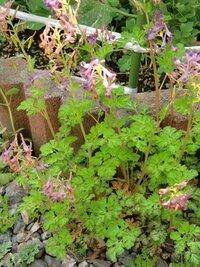 この花の名前が分かる方お願いします。  花壇の外側の砂利部分から生えてきていますが、 昨年このような花を植えた覚えが無く… (お隣にも生えていなかったと思います)  葉はイタリアンパセリのようなカンジで、 花は紫色です。  雑草のような気がしないので、気になっています。