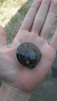 この貝の名前と食用なのか教えてください 福岡県和白で取れました わかる方お願いします