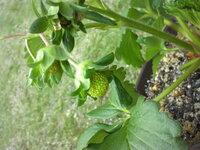いちご・受粉してから収穫までどれくらい?  愛知県在住で南側の1日日当たり良好の庭で初めていちごを育てています。 GWが終わった頃から実 がつき始めました。感激でした。徐々に実の数も増えてはきてたのですが、なんか実の成長が止まってる?と思い始めてきました。実の大きさもグングン大きくなってきた!って感じもなく、色もまだ緑っぽいまま...私の気が焦りすぎなのでしょうかf^_^;  受粉し、あっ実...