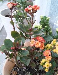 カランコエの花の色について こちらはカランコエ(?)だと思いますが、 昨年頂いた時よりも大分色が褪せたというか薄くなってしまいました。 何か病気でしょうか、育て方が悪いのでしょうか…  日当たりのい...