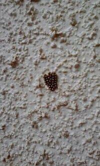 コレは何の虫の卵でしょうか? 家の外壁に付いていました。 発見したのは神奈川県、5月です。 大きさは全体で小指の爪くらい、ツブツブが30個くらいの集合体です。 詳しい方、教えてください!