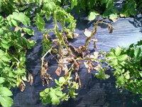 ジャガイモの下葉から黄変して枯れてきたのですが、何という病気でしょうか。 葉に黒褐色の斑紋が発生しているので、恐らく「夏疫病」だと思うのですが。