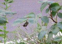 蜂の巣 。。。 バラの葉の裏に蜂が巣作りをしています。 大きくなると葉が重さに耐えられなくなるので ある程度の大きさになると巣作りをやめると思うのですが 今の大きさくらいになった時点で私が巣を撤去し...