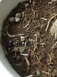 ミカンの細い根は、地表からの何センチの深さにあるのが適切なのでしょうか? 5月に、花が咲いた桜島小みかんの鉢植え苗を購入しました。  鉢の土の表面(化成肥料を置いた範囲)に、細い根が伸びて、露出していました。細い根は、肥料を吸収する為に、土の表面に伸びたものと思われ、今後も、化成肥料は、土の表面に置く予定です。  みかんの鉢植えの場合、細い根は、露出させたままで良いのでしょうか?  花...