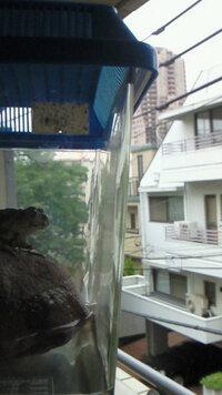 カエルの飼育について。 数日前、自宅(元麻布2丁目)至近の西町インターナショナル付近の路地にて、画像のカエルを捕まえました。(自宅窓から元麻布ヒルズをバックにカエルくんを撮影。) 数日前の夜、六本木...