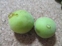 梅の実の表面にでてきた透明の樹液はなんですか? 梅の実を収穫したところ、いくつかに写真のような樹液がついているものがありました。  こういった状態は初めて見るのですが、梅の実でこのようなものがついているのは、ごく普通のことなのでしょうか。 食べても(そのまま漬け込んでも)大丈夫ですか?