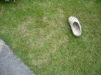 芝生が生えそろいません 植えて3年になる高麗芝(約6m^2)が7月になっても生えそろいません。 月1回化成肥料、月2回液肥、水やりは晴れの日にしているのですが、 昨年度のサッチのままのところが約10cm幅の筋上1mが3カ所に残ったり、 雑草(オヒシバ、ナズナ,カタバミ)がかなり生えだしています。 日照条件は悪く1日6時間程度なのですが、何か対処する手立てはありませんか。 心あたりと...