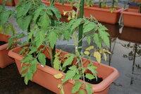 トマト・ミニトマトをプランターで栽培していますが、両方に見られる症状で下の葉から順番に枯れていくというものです。 病気にかかっている方は全体的に緑も薄く、葉の量も少ないです。原因と対処方法をお願いします