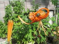 このオレンジの百合の花の名前を教えてください 今日ユリの花が咲きました。 花に黒い斑点があるのが特徴です 名前を教えていただけませんか?  茎と葉の根元に黒い豆みたいなのができるのですが、これは種なのでしょうか? これによって増えたのか、元々球根があって増えたのか分かりませんが、 その黒い豆みたいなのが種なのかどうかも教えていただけませんか?