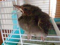 【大至急】ムクドリ?の雛を保護しました。どうすればいいでしょうか? 近所の方が公園で雛を拾いったらしく、ヒトの手で触ってしまったらしく このままでは死んでしまいますので保護しました。 もちろん野生動物の保護は法に引っかかることや、雛は拾わないほうが 良いことは、ムクドリは害鳥というのは存じています。 野生動物を保護する場合ですが、まず市役所に知らせ許可を頂いたほうがいいでしょうか?...