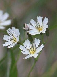 先日八方尾根をハイキングした時に見つけた花ですが名前がわかりません。わかる方教えて下さい。なでしこ科の花だと思いますが。よろしくお願いします。
