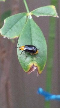 頭は黄色、羽は黒の虫が何処からか飛んできて花壇の花や葉が食べられて困っています。 この虫の名前と駆除方法をご存知の方、知恵を貸して下さい。 よろしくお願いします。