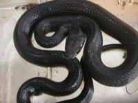田んぼで蛇を捕まえましたが なんて言う蛇なんでしょうか? 毒があるかどうか知りたいです!! なかったら飼いたいですw あと蛇って何を食べるんでしょうか? カエルでもいいんでしょうか? よろしくお願いします_(._.)_