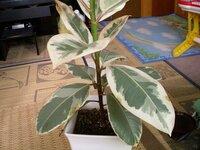 観葉植物の葉が茶色に変色してきました。病気でしょうか? 観葉植物の葉の一部が茶色く変色してきました。病気でしょうか?対処法を教えてください。 また、この観葉植物の名前も教えていただけないでしょうか。よろしくお願いします。