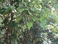この大きな葉っぱの木はなんでしょう。水辺に近い林道にありました。