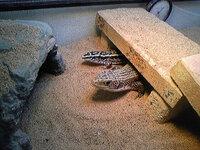トカゲの水分補給について。 トカゲに関しての質問です。   今90cm×45cmのケージにニシオニプレートトカゲ(45cm~)  とヨスジオビトカゲ(25cm~)を一緒に飼育しています。   飼い始めて半年ほど経つので...