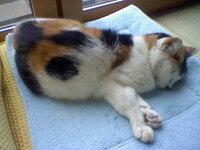 三毛猫は 柄がはっきりしていると珍しいのですか? メスの三毛猫を飼っています 昨日 動物病院に飼い猫を連れていったのですが その時獣医さんに 「こんなにはっきりしている柄の三毛猫はあまりいない」 と言...