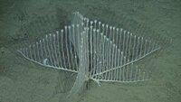 カリフォルニアの水深3000mに生息するコンドロクラディア・リラ ちょっと前に話題になったハープ型の深海生物ですが、詳しい方かいらしたら教えて下さい。  ①この画像はどうやって撮影されたのでしょう?(水深3000mでは光が届かないので) ②脚の様なものが見えますが、海底を歩いて(這って)移動するのでしょうか? ③この生物の餌は何でしょう?(深海なのでマリンスノーとか?) ④繁殖はど...