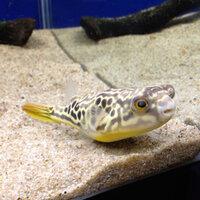 下関水族館、海響館でこのフグを見ました。 しかし、名前を覚えてくるのを忘れてしまいました。 このフグの名前を教えて下さい。お願いします。