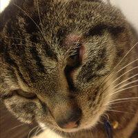 うちの猫が眼瞼炎になってしまったのですが、 病院に連れて行って点眼薬と内用薬を処方してもらい、二週間がたちましたが良くなりません… むしろひどくなってきたかも…という感じです(´・_・`) 目の周りの  皮膚も赤く腫れ、毛が抜けてきています。  なにか、薬の他に気をつけることや予防、治療ができることはないのでしょうか… それとも、このまま薬をあげ続けるしかないのでしょうか…。  見ていて痛々...