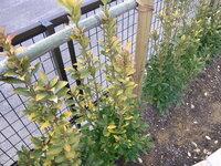黄金マサキの色がでてない気がするのですが・・・ 去年の冬に黄金マサキを業者の方に頼んで庭に植えてもらったのですが、自分が思ってたような鮮やかな黄色の色がありませんでした。(なんか、くすんだ感じの色です。写真有) 月日がたてば黄色になるのかなと思い様子をみてましたが、現在もそのままです。これは何か問題があるのでしょうか? ちなみに根に近い方の葉は綺麗な緑色をしています。 黄色の綺麗な生垣を作り...