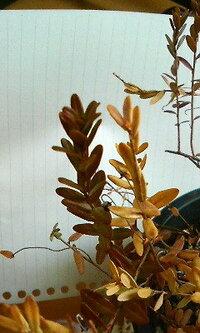 去年10月頃にクランベリーの実がなっている鉢を購入し収穫しましたが、その後ほとんどの葉を枯らせてしまいました…  どのツルも15cm程です 。鉢の7割が、画像の右側のツルのように、触っただけでパラパラと...