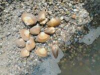 海の砂利浜で取れた貝なのですが、「あさり」かなと思ったのですが、違うようで…。 もしお分かりの方がいらっしゃいましたら、名前と食べれるか否かを教えていただけませんでしょうか。 どうぞ宜しくお願い致します。