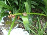 ヒヤシンスの花が枯れた後 1つだけ花の下が膨らんできました。 これは何でしょうか?