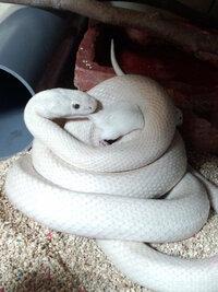 白蛇の種類について 蛇には色々な種類がありますが、こちらは何という種類なのか教えて頂けませんでしょうか?推定年齢は14年と1ヶ月で体長は2メートル以上(波うった状態で計測し2.05メートル)あり、胴回りの一番太い部分が直径15㎝位です。全体は純白で目は黒です。