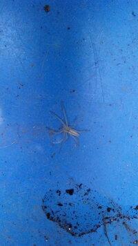 この白い蜘蛛は何ていう蜘蛛でしょうか?