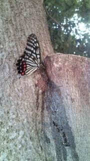 尾状突起がないアゲハチョウ。 アゲハチョウだと思いますが尾状突起が無いのです。 色から見るとナガサキアゲハではないと思いますが、柄や大きさがアゲハチョウなのです。 わかる方がいらしたらお願いします。