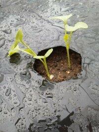 大根の芽がヒョロヒョロなんですが大丈夫ですか? 8月の30日に大根の種を植えて10日ぐらいで画像のようになりました。  徒長と言うんでしょうか?ヒョロヒョロで倒れてしまっているのもあります。  大根の芽...